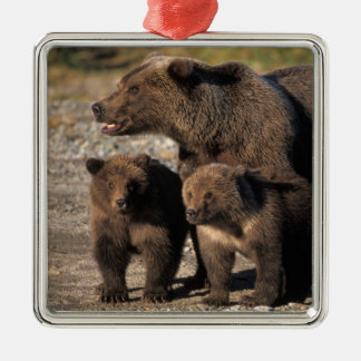 Brown bear, grizzly bear, sow with cubs looking Silver-Colored square decoration