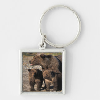 Brown bear, grizzly bear, sow with cubs looking Silver-Colored square key ring