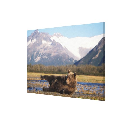 Brown bear, grizzly bear stretching on its back stretched canvas print