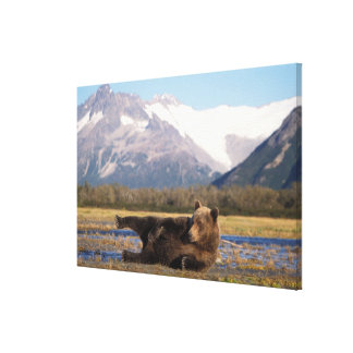 Brown bear, grizzly bear stretching on its back stretched canvas prints
