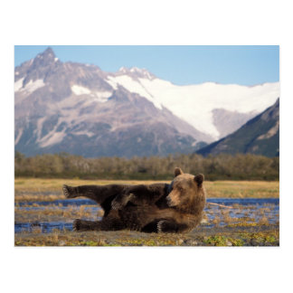 Brown bear, grizzly bear stretching on its back postcard