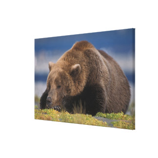 Brown bear, grizzly bear, taking a nap, Katmai Canvas Print