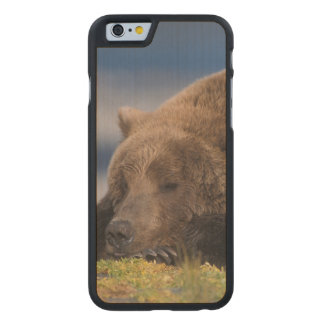 Brown bear, grizzly bear, taking a nap, Katmai Carved® Maple iPhone 6 Case