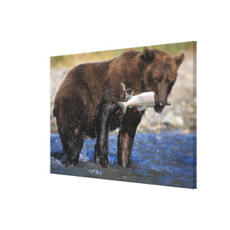 Brown bear, grizzly bear, with salmon catch, gallery wrapped canvas