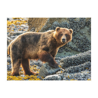 Brown bear on beach 2 stretched canvas print
