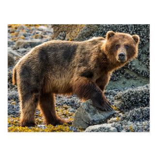 Brown bear on beach 2 postcard