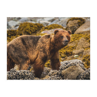 Brown bear on beach stretched canvas print