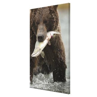 Brown bear, or Coastal Grizzly Bear, Ursus Canvas Print