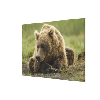 Brown bear, or Coastal Grizzly Bear, Ursus Canvas Print