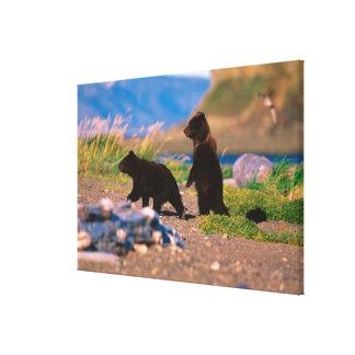 Brown Bear, Ursus arctos, Alaska Peninsula, Canvas Prints