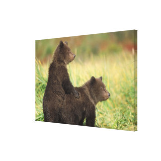brown bear, Ursus arctos, grizzly bear, Ursus 2 Canvas Print