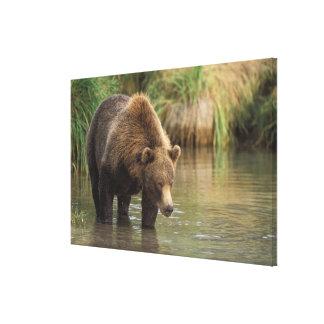 brown bear, Ursus arctos, grizzly bear, Ursus 4 Stretched Canvas Print