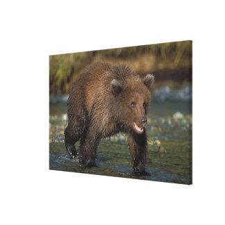 brown bear, Ursus arctos, grizzly bear, Ursus 6 Canvas Prints
