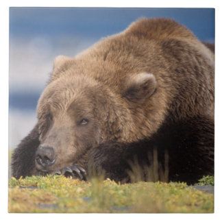 brown bear, Ursus arctos, grizzly bear, Ursus 8 Tile