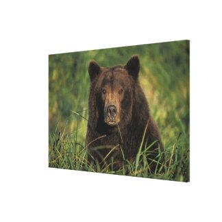 brown bear, Ursus arctos, grizzly bear, Ursus 9 Canvas Prints