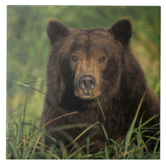 brown bear, Ursus arctos, grizzly bear, Ursus 9 Ceramic Tile