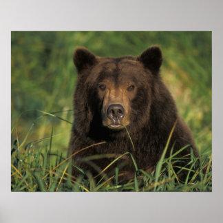 brown bear, Ursus arctos, grizzly bear, Ursus 9 Poster