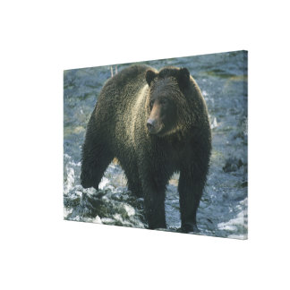 Brown Bear, Ursus arctos), hunting salmon, Canvas Prints