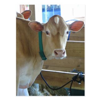 Brown Cow Postcard