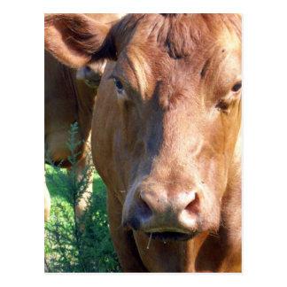 Brown_Cow,_ Postcard