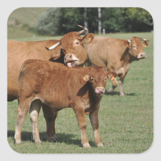 Brown cow washing her calf square sticker