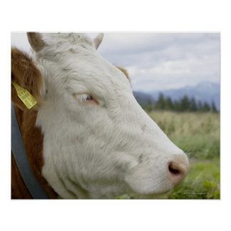 Brown cow with a sign in it?s ear on a feedlot, poster