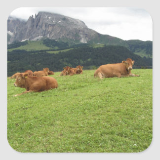 Brown cows on alpine pastures in summer square sticker