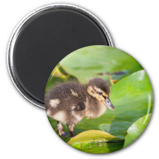 Brown duckling walking on water lily leaves magnet