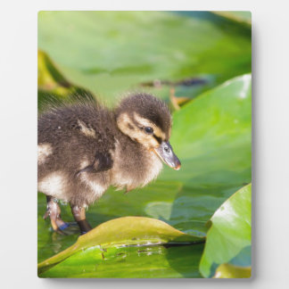 Brown duckling walking on water lily leaves photo plaque