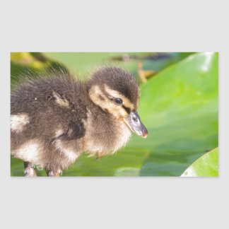 Brown duckling walking on water lily leaves rectangular sticker