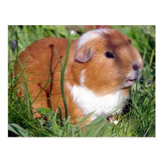 brown guinea pig in the garden postcard