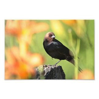 Brown-headed Cowbird Photo Print