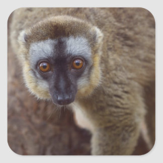 Brown lemur (Eulemur fulvus) in the forest Square Sticker
