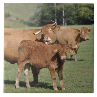 Brown Limousin cow and calf Large Square Tile