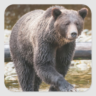 Brown Or Grizzly Bear (Ursus Arctos) Fishing Square Sticker
