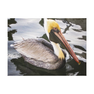 Brown Pelican,  Biloxi Bay,  Mississippi Canvas Print