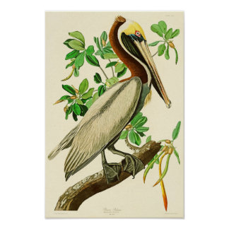 Brown Pelican John James Audubon Birds of America Poster