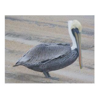 Brown Pelican OBX Postcard