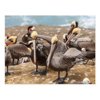Brown Pelicans Ashore. La Jolla Cove, San Diego Postcard