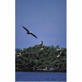 Brown pelicans at refuge cut outs