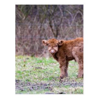 Brown scottish highlander calf in meadow postcard
