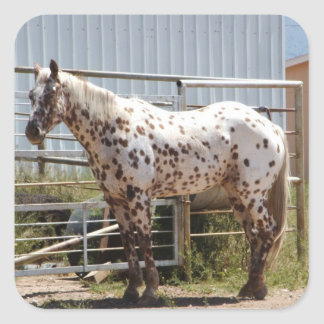 Brown spotted Appaloosa horse Square Sticker