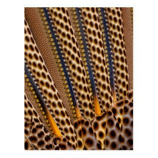 Brown spotted pheasant feather postcard