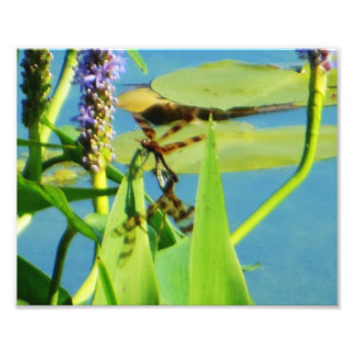 Brown Striped Dragonflies on Pickerelweed Photo