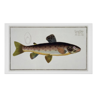 Brown Trout (Salmo Iasustris) plate XXIII from 'Ic Poster