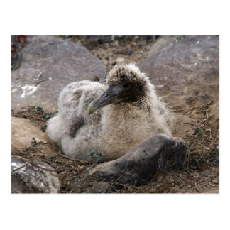 Brown Waved Albatross Chick Sits In Circle Of Rock Postcard