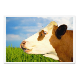 Brown white cow looking straight ahead. photograph