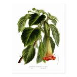 Brugmansia sanguinea (Angel's trumpet) Postcard