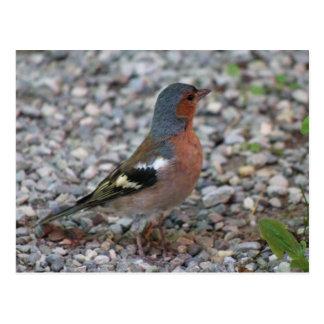 Buchfink chaffinch postcard
