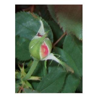 """""""BUD"""" ~ (Rose 4) ~ Postcard"""